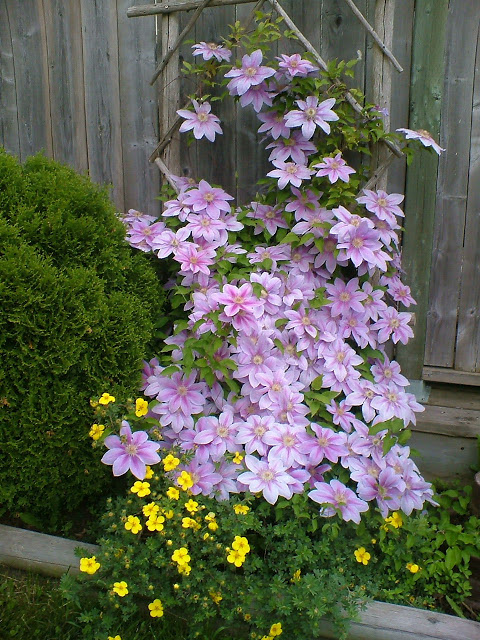 clematis vine with flowers