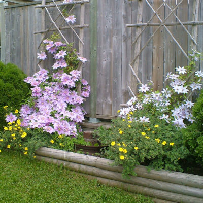 Amazing Clematis Blooms