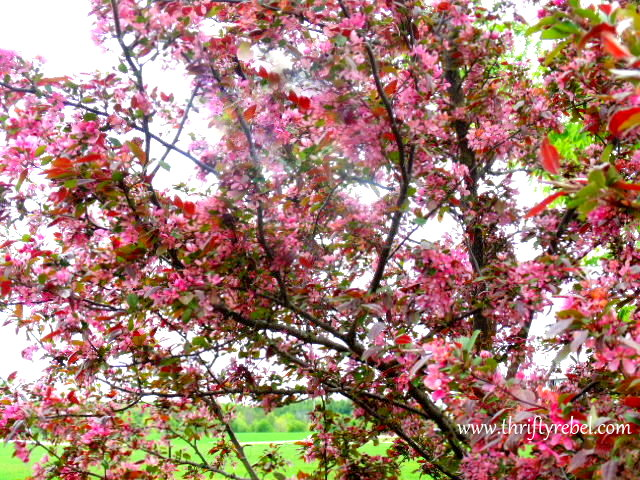 Oramental Cherry Tree