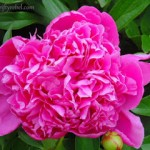 Perfectly Perfumed Pretty Pink Peonies