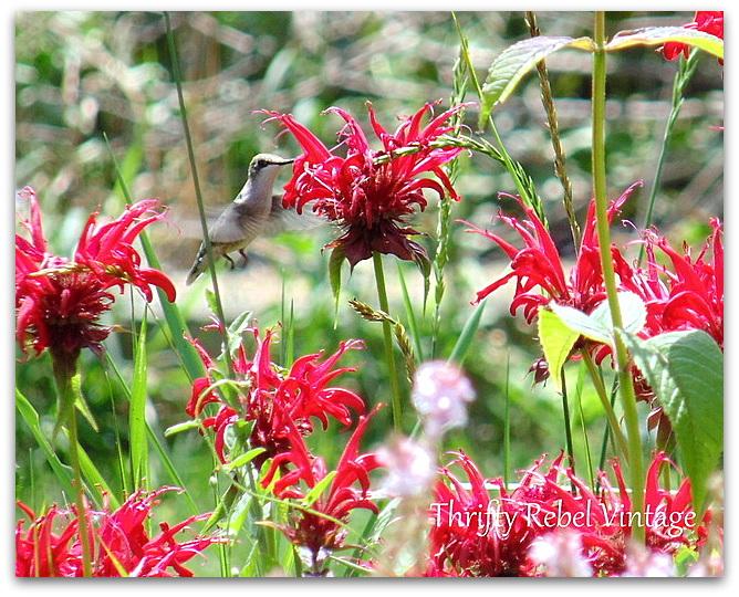 hummingbird-in-the-garden