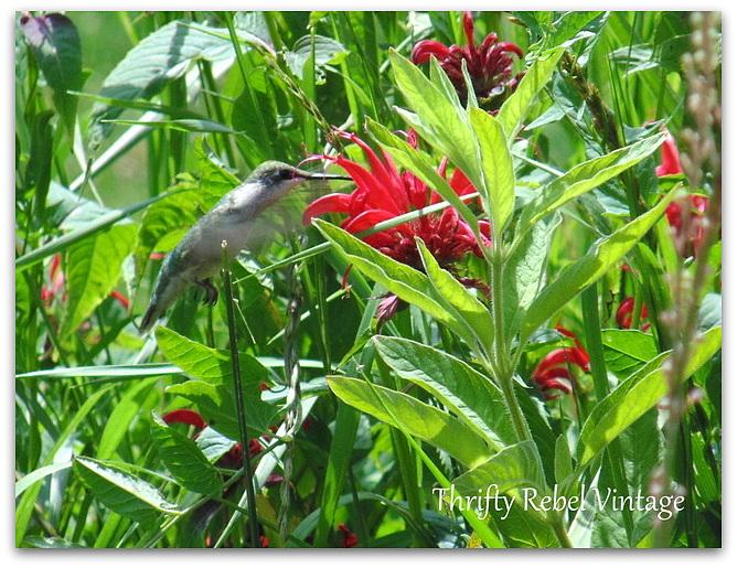 hummingbird-and-bee-balm