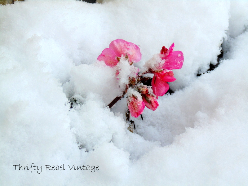 first snow last geranium