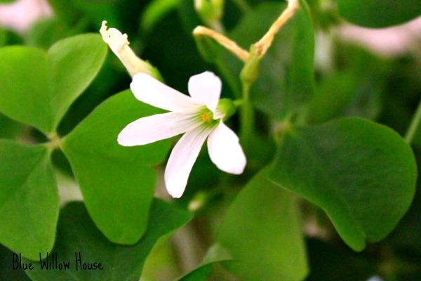 Shamrock-Flower