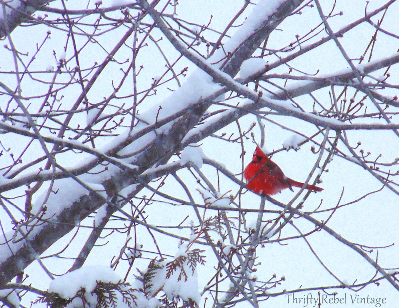 Cardinal on a snowy tree branch